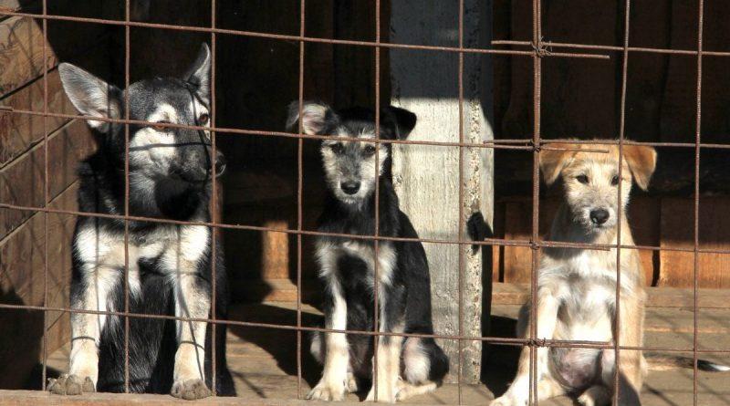 «Круговорот собак в пригороде» – за последние 4 года бельцкие власти потратили на отлов собак более миллиона леев и 21 тонну бензина
